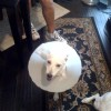 Stop Using Elizabethan Collar For Your Dog