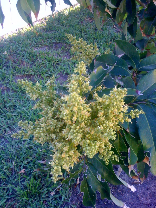 Lychee Tree Flower Lyc...